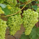 Выращиваем виноград из семян. Секреты садоводства